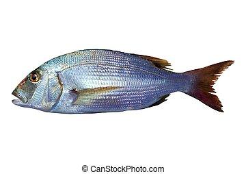 pez, dentado, snapper, vulgaris, dentex, sparus