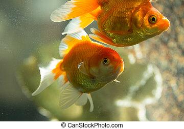 pez, en, acuario