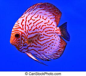 pez, en, el, acuario, vidrio