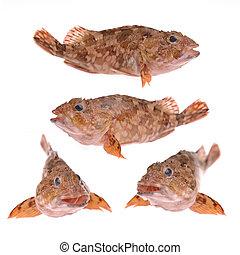 pez, escorpión