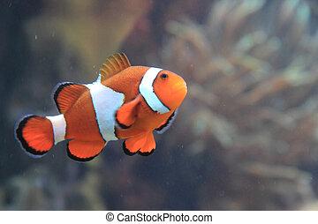 pez, nemo, payaso