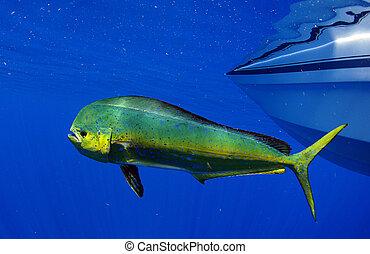 pez, o, delfín, mahi