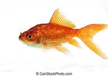 pez oro, aislado, blanco