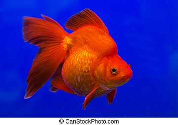 pez, oro