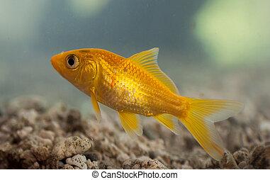 pez oro, natación