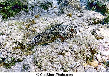 pez, pequeño, submarino, (scorpaena, notata), rojo, life., scorpionfish, escorpión