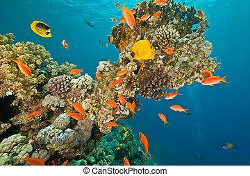 pez, sha'ab, alrededor, coral, mahmud
