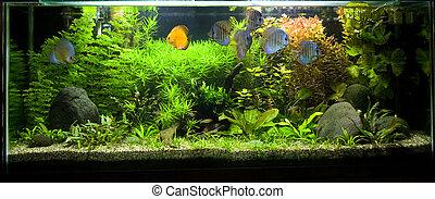 pez tropical, 2, disco, acuario, de agua dulce