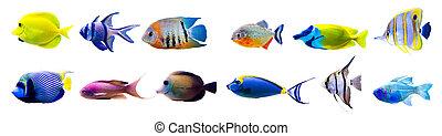 pez tropical, colección, aislado, blanco