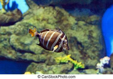 pez tropical, en, un, barrera coralina