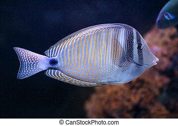 pez tropical, espiga, aguas océano, sailfin, indio, mar, ...