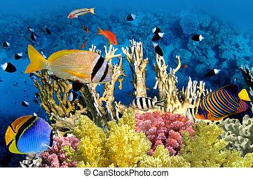 pez tropical, y, barrera coralina