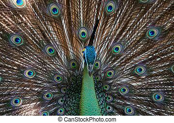 pfau, peafowl, mit, seine, schwanz, feath