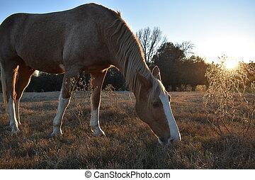 pferd, an, sonnenuntergang
