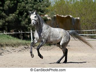 pferd, arabisch