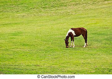 pferd, auf, grünes feld