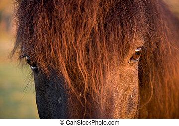 pferd, auge