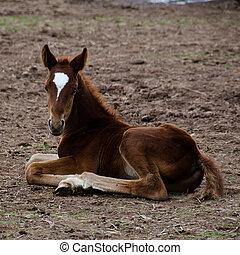 pferd, boden, fohlen, sitzen