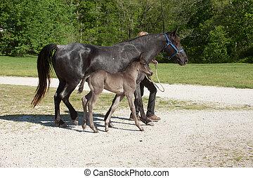 pferd, fohlen