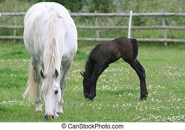 pferd, fohlen, &