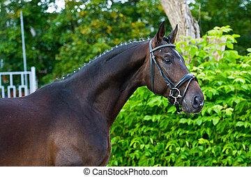 pferd, hengst, -, grüner hintergrund, züchter