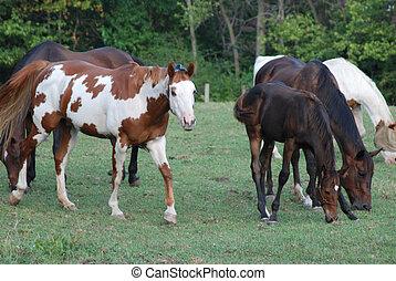 pferd, herde
