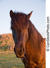 pferd, isländisch