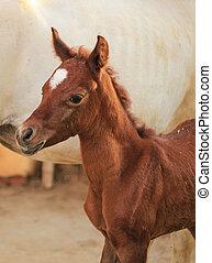 pferd, ranch/, sonnig, feld, arabisch, kennzeichnend, tag, sandig