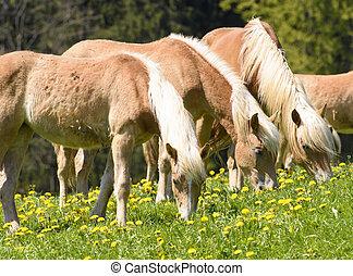 pferd, rasse, wiese, haflinger