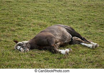 pferd, schlaf, draußen, auf, weide