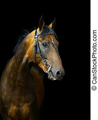 pferd, schwarz, akhal-teke