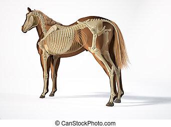 pferd, skelettartig, system., anatomy.