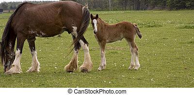 pferd, und, pony