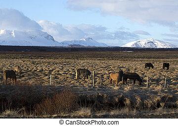 pferden, abend, wiese, licht, herde, isländisch
