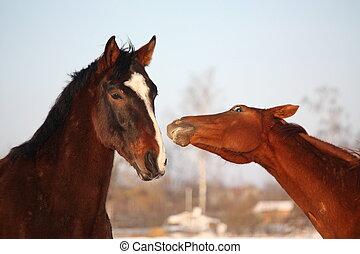 pferden, andere, zwei, nuzzling, jedes