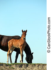 pferden, brauner, fohlen, schwarz, stute