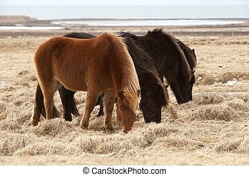 pferden, brauner, isländisch, wiese, herde