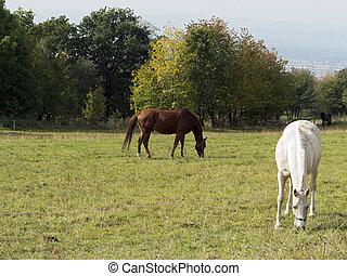 pferden, brauner, weißes, weide