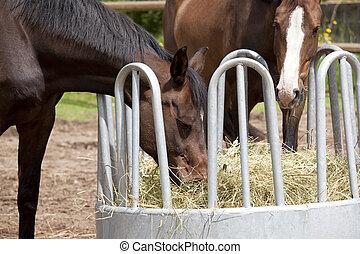 pferden, essende, von, heu, gestell