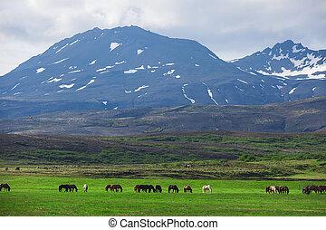 pferden, feld, isländisch