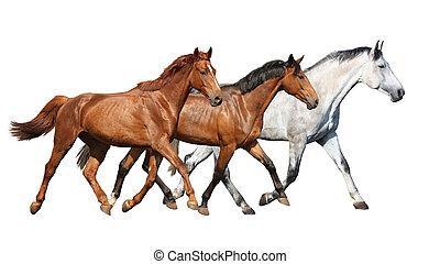 pferden, frei, herde, rennender , hintergrund, wild, weißes