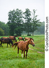 pferden, in, der, morgen