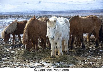 pferden, isländisch, wiese, bunte, herde