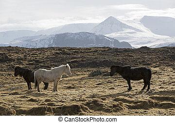 pferden, isländisch, wiese, herde