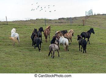 pferden, island, isländisch, weide, herde