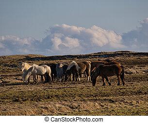 pferden, klein, isländisch, weide, herde