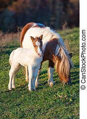 pferden, klein, pony, mutter