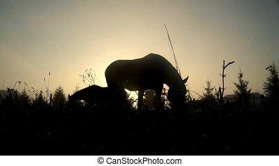pferden, pferd ranch, silhouette., field., herde, weiden