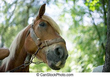 pferden, schauen, fokus