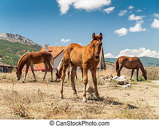 pferden, sommer, pferd, junger, feld, heiß, erwachsener, tag